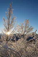 winter landscape of sun through alder tree forest along upper hillside Bear Valley area in Anchorage January 2014