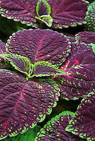 Solenostemon Coleus Mt. Washington