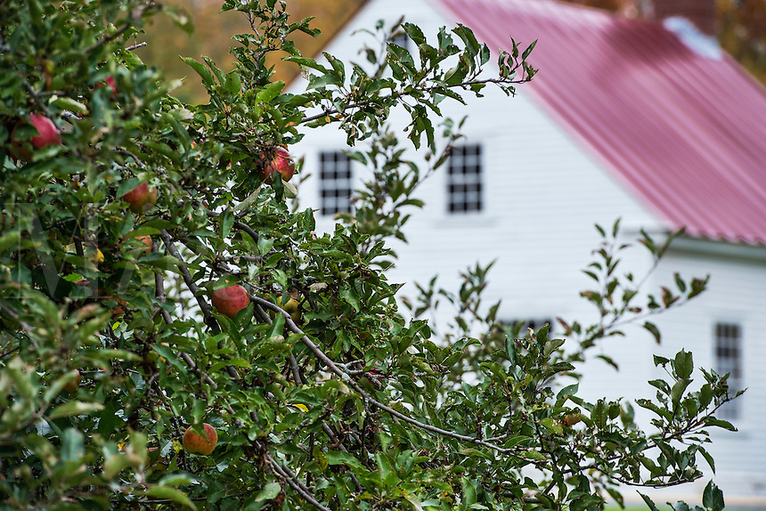 Apple tree and Shaker house, Hancock Shaker Village, Massachusetts, USA