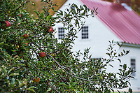 Apple tree and Shaker house, Hancock Shaker Village, Massachusetts, USA
