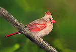 A Colorful Bird, The Northern Cardinal Female Against A Sparse Green Background, Cardinalis cardinalis