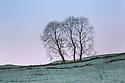 Ash Tree {Fraxinus excelsior} growing on field boundary. Peak District National Park, Derbyshire, UK. December.