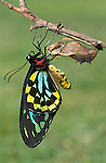 Green Birdwing Butterfly, Ornithoptera priamus, New Guinea and Australia, Pupae hatching sequence, wings drying, green and black.Australia....
