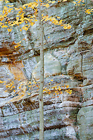 Illinois Canyon is filled with many young Maple trees, show here in autumn colors in October, Illinois Canyon, Starved Rock State Park, LaSalle County, Illinois