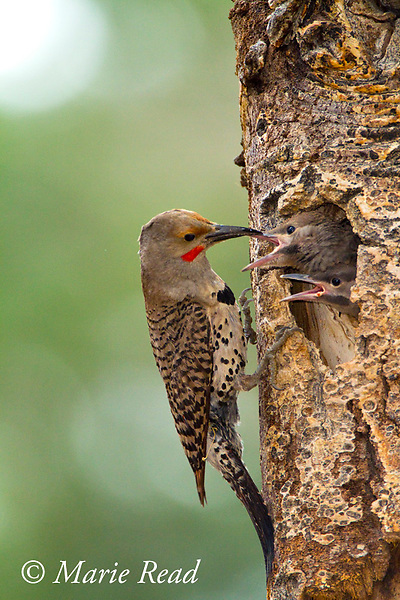 Northern Flicker (Colaptes auratus), red-shafted form, male about to feed two large nestlings looking out of nest hole, Mono Lake Basin, California, USA