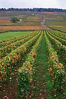 pinot noir vineyard la romanee conti la romanee in back vosne-romanee cote de nuits burgundy france