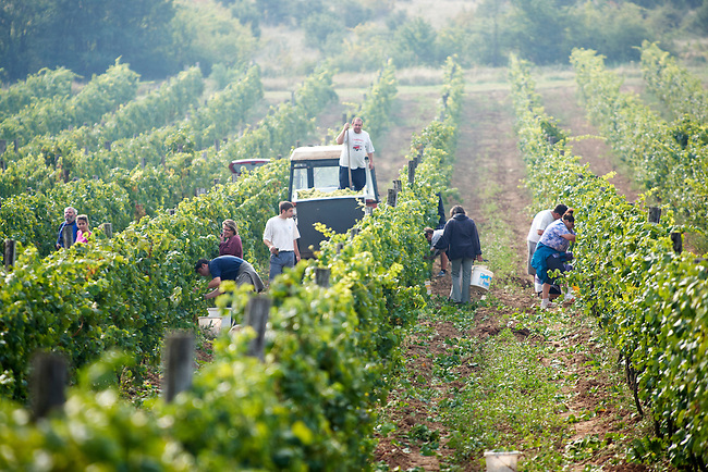 Grape harvest in the Balaton vineyards - Balaton-Fely, Hungary