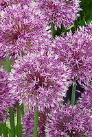 Allium 'Early Emperor' ornamental onion, purple summer flowering bulb, fun plant for kids in the garden, like lollipops