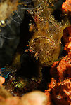 Painted Frogfish, Antennarius pictus, Lembeh Straits, Sulawesi Sea, Indonesia, Amazing Underwater Photography