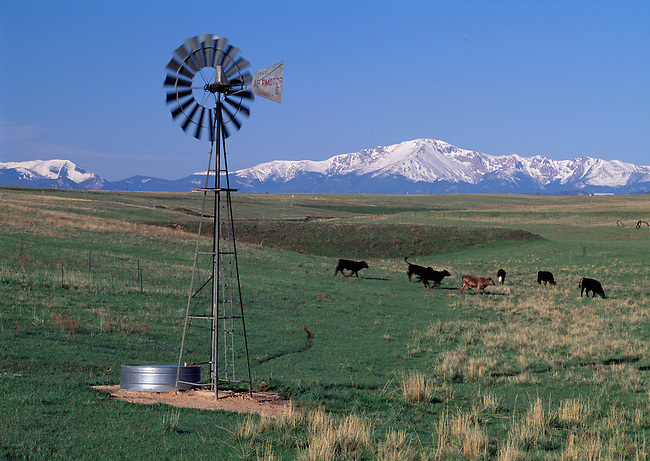Cattle grazing on farmland along the Palmer Divide, near Pikes Peak, CO