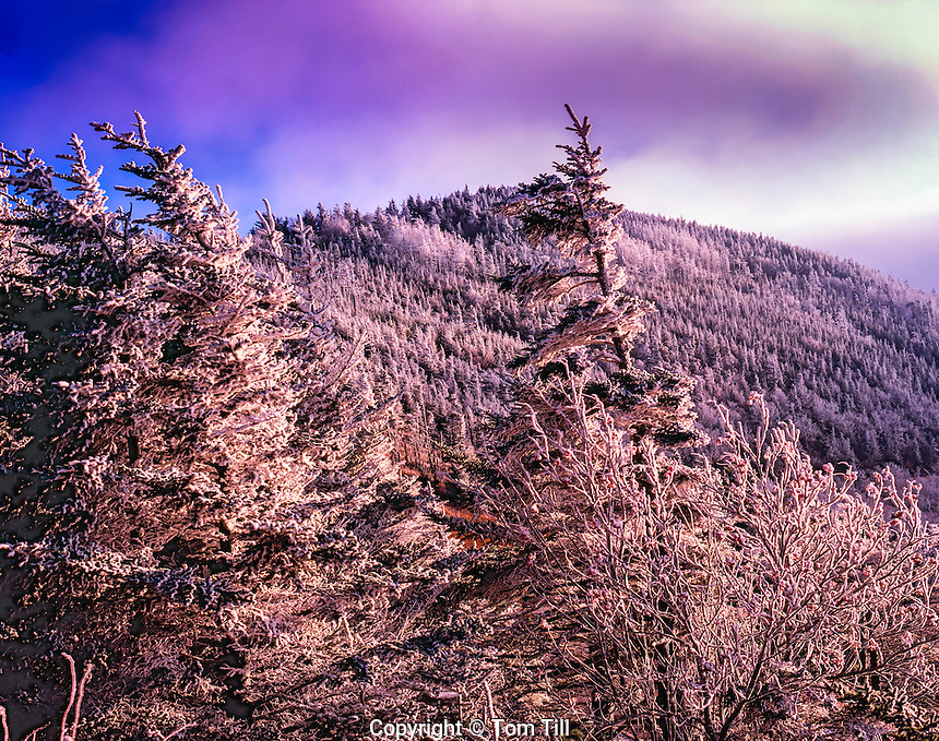 Iced Summit Trees in Fall at the Highest Place East of the Mississippi, Mount Mitchell State Park, Blue Ridge Parkway, North Carolina