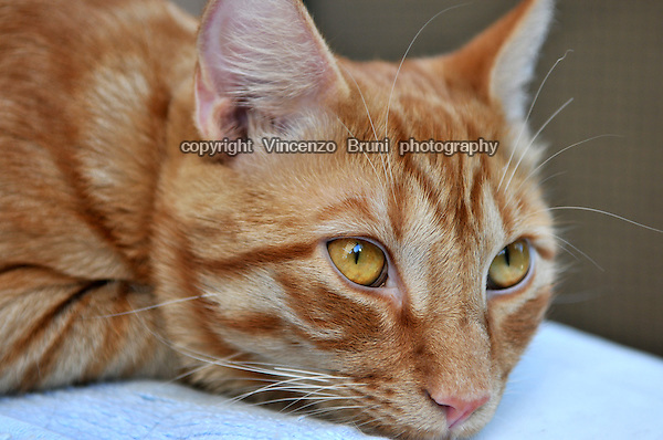 Close up of a red tabby cat