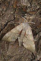 Pappelschwärmer, Pappel-Schwärmer, Laothoe populi, Sphinx populi, Poplar Hawk-moth, Poplar Hawkmoth, Le sphinx du peuplier, Schwärmer, Sphingidae, Hawkmoths, hawk moths, sphinx moths