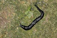 Schwarzer Schnegel, Egelschnecke, Limax cinereoniger, black keel back slug, Ashy-grey Ash-black Slug, Nacktschnecke, Nachtschnecken