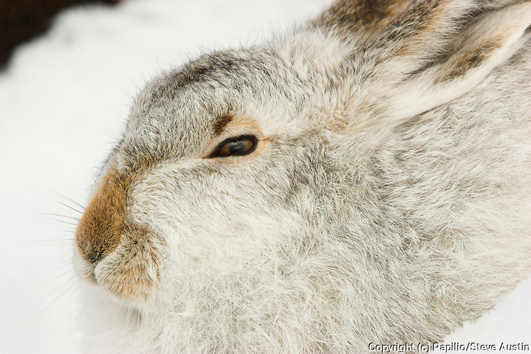 Mountain hare, Lepus timidus, in snow, intermediate coat, Inverness-shire, Highland Scotland