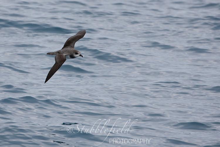 Soft-plumaged Petrel (Pterodroma mollis mollis) in flight over the Scotia Sea.