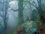 Shenandoah National Park, VA<br /> Dense fog in a spring hardwood forest along the Appalachian Trail near Skyland