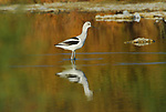 Avocet at the Salton Sea