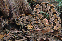 466844005 a captive canebrake rattlesnake crotalus horridus atricaudates lays coiled and ready to strike in leaf litter - species is native to the southeastern united states