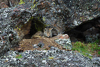 Wild Coyote (Canis latrans) resting in protective alcove along rocky, cliff face.  Western U.S., June