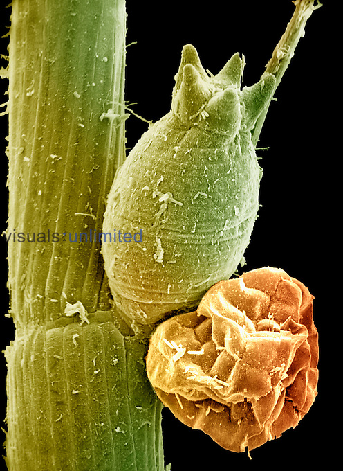 Stonewort (Chara) showing the Female gametangium ,Green, and the Male gametangium ,Brown,. **On Page Credit Required** - SEM