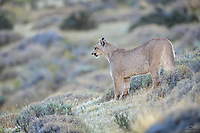 Wild female Puma (Puma concolor), about 18 months old, surveying the valley below her. We saw this cat as a cub last year. This year she's on her own and proved to be a resourceful and successful hunter.