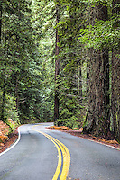 Road winding through the redwood rain forest of giant trees of Northern California
