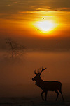 Red deer(cervus elaphus) stag in silhouette at sunrise with mist in the valley. Bedfordshire,UK