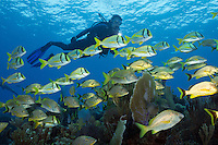 TH0722-D. Bluestriped Grunts (Haemulon sciurus), White Grunts (Haemulon plumierii), and Porkfish (Anisotremus virginicus) shoaling over sea rods, sea plumes, and sea fans on a healthy coral reef in the shallows. Cuba, Caribbean Sea.<br /> Photo Copyright &copy; Brandon Cole. All rights reserved worldwide.  www.brandoncole.com