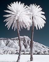 An infrared image of two palm trees in front of Diamond Head Crater.