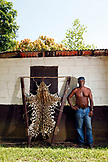 BELIZE, Hopkins, guide Santos Damien at the Cockscomb Basin Wildlife Sanctuary stands next to a Jaguar hide that was shot by a farmer protecting his livestock