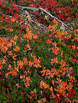 Mount Baker-Snoqualmie National Forest, WA <br /> Huckleberries in bright autumn colors of orange and red mix with the greens of heather near Picture Lake