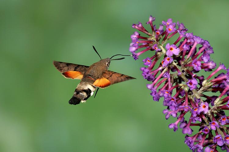 Hummingbird Hawkmoth - Macroglossum stellarum