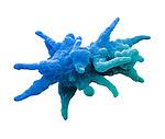 An Amoeba proteus dividing. - SEM