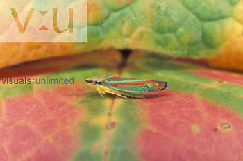 Banded Scarlet and Green Leafhopper ,Graphocephala coccinea,
