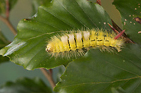Buchen-Streckfuss, Buchen-Streckfuß, Buchenstreckfuß, Streckfuß, Rotschwanz, Buchenrotschwanz, Raupe frisst an Buche, Calliteara pudibunda, Dasychira pudibunda, Olene pudibunda, Elkneria pudibunda, pale tussock, red-tail moth, caterpillar, la Pudibonde, Trägspinner, Lymantriidae