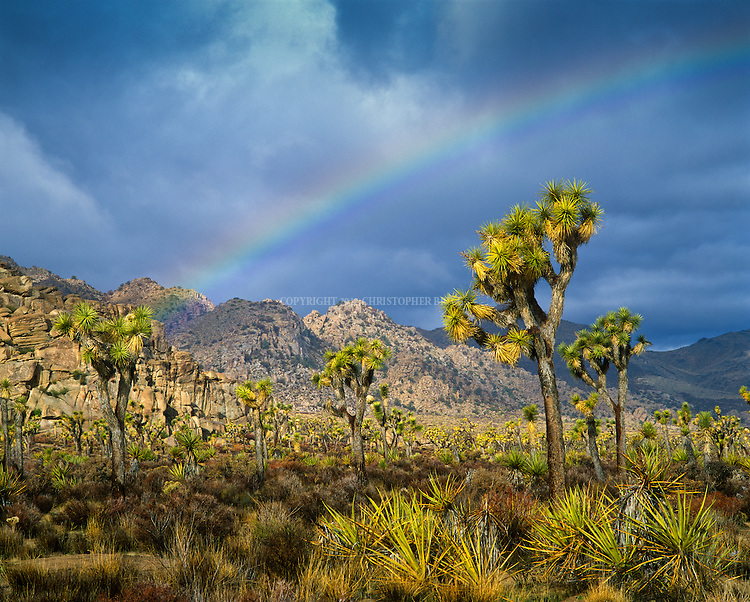 Joshua Trees (Yucca brevifolia) under rainbow in Joshua Tree National Park, created 1994 with passage of California Desert Protection Act (previously National Monument Est. 1936). 790,636 acres (319,959 ha) or 1,235 sq. mi. Joshua trees are fast growers for the desert; new seedlings may grow at an average rate of 3.0 in (7.6 cm) per year in first ten years, then only about 1.5 in (3.8 cm) per year. Trunk made up of thousands of small fibers and lacks annual growth rings, making it difficult to determine a tree's age. Name Joshua tree from Mormon settlers in the mid-19th century; shape reminded them of a Biblical story in which Joshua reaches his hands up to the sky in prayer. Mojave Desert, Riverside County, CA.