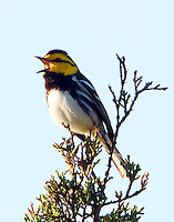 Adult male golden-cheeked warbler singing-loudly!