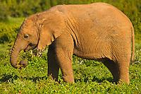 Port Elizabeth, South Africa (Sunday, July 17, 2011) - Elephant Calf. Addo Elephant National Park. The park is a sanctuary to a multitude of game species and abundant birdlife including over 500 Elephants, Lions, Black Rhinos, Buffalos, Leopards and Zebra.  Photo: joliphotos.com