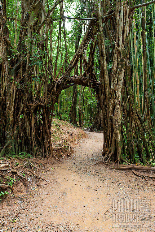 A root archway over the trail to Manoa Falls, Honolulu, O'ahu.