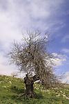 Israel, Upper Galilee, Black Mulberry tree (Morus nigra) at Hurvat Beck on Mount Meron.