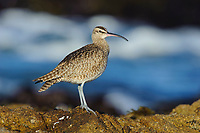 Whimbrel (Numenius phaeopus) on coastal rocks. Monterey County, California. December.