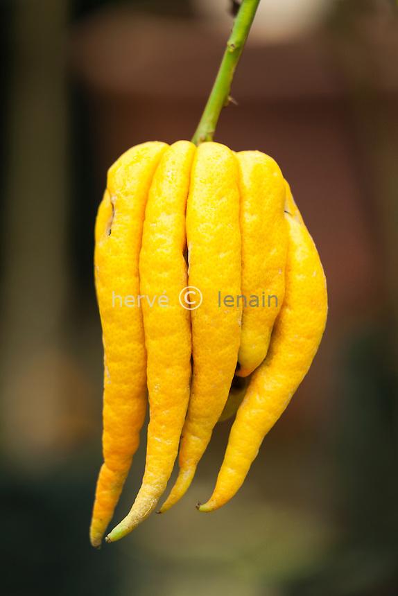 cédrat main de Buddha = cédrat 'Buddha's Hand', Citrus medicat 'Buddha's Hand' = Citrus medica var. sarcodactylis.