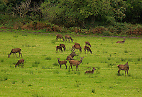 9-10-2012: A red deer stag protects a herd of hinds in the Killarney Demesne in the early hours of Monday morning as the annual 'rutting' (mating) season is in full swing..Picture by Don MacMonagle