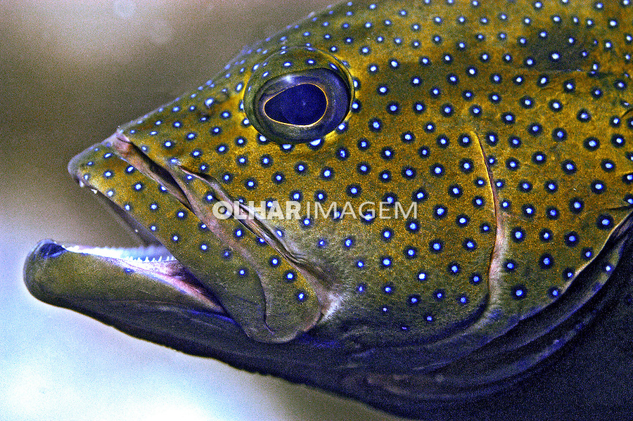 Peixe Piraúna ( Cephalopholis fulva) em Fernando de Noronha. PE. Foto de Ricardo Azoury.