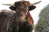 Long horned Saler beef cow eating hay outside in winter