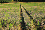Tyre tracks forming path down hill through stubble field, Sutton, Suffolk, England, UK