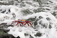 The wave broke over the rocks and washed past the Sally Lightfoot Crab.  The crab was not disturbed as each wave broke on shore.