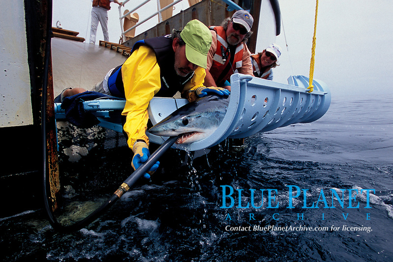 Mako shark, Isurus oxyrinchus, tagging, California, USA, East Pacific Ocean