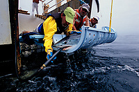 Mako shark, Isurus oxyrinchus, tagging, California, USA, East Pacific Ocean
